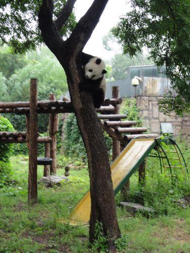 降りてきたパンダ